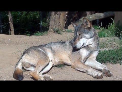 Gray Wolf ***