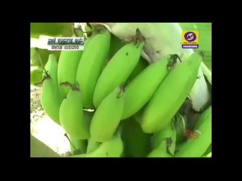 Start a Banana Plantation  as Profitable Farming | Kannada|