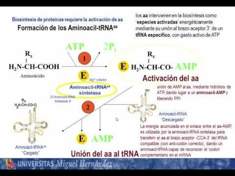 Tema 5.6 Biosíntesis de proteínas. Mecanismo de traducción. S1 Traducción_iniciación (umh1163)