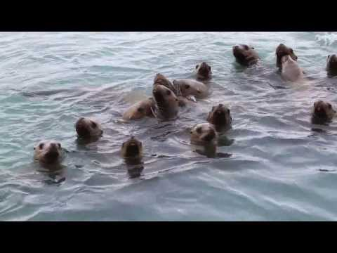 Funny!!! Talking with Wild Steller Sea Lions in Alaska
