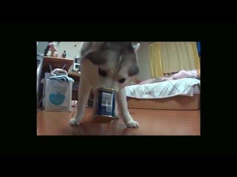 犬散歩! Funny Dog Fail, Try Not to Laugh, Funny Animal Video