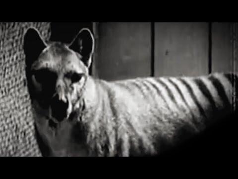 Thylacine (extinct Species)