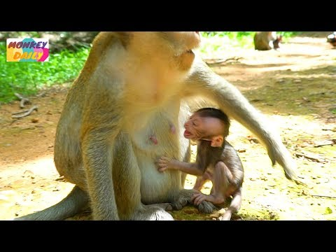 Newborn Opie angry mom try to deny milk | Olivia busy with food & careless baby | Monkey Daily 3325 thumbnail