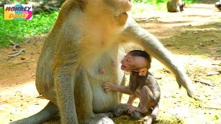 Newborn Opie angry mom try to deny milk | Olivia busy with food & careless baby | Monkey Daily 3325