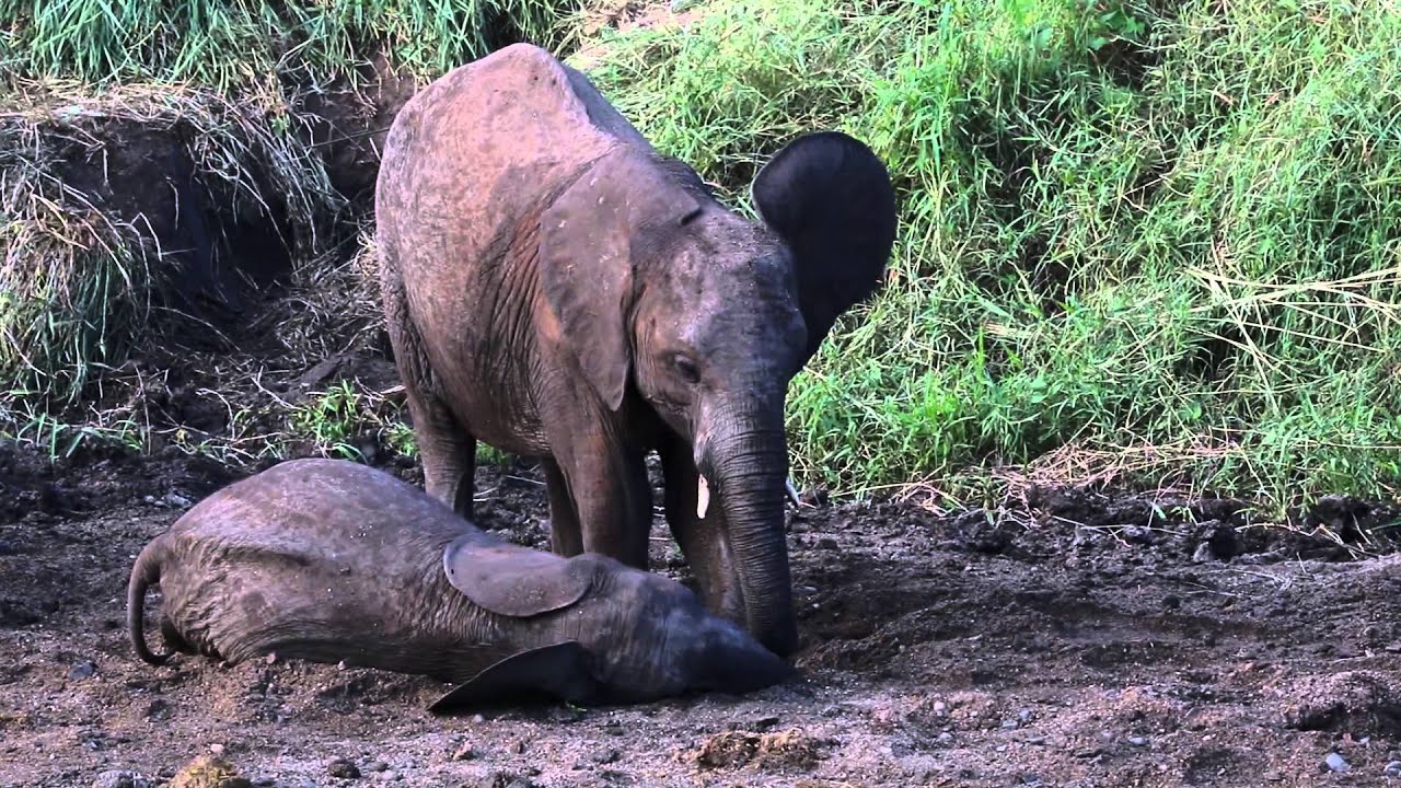 Baby Elephant drinking water - Floppy trunk - YouTube