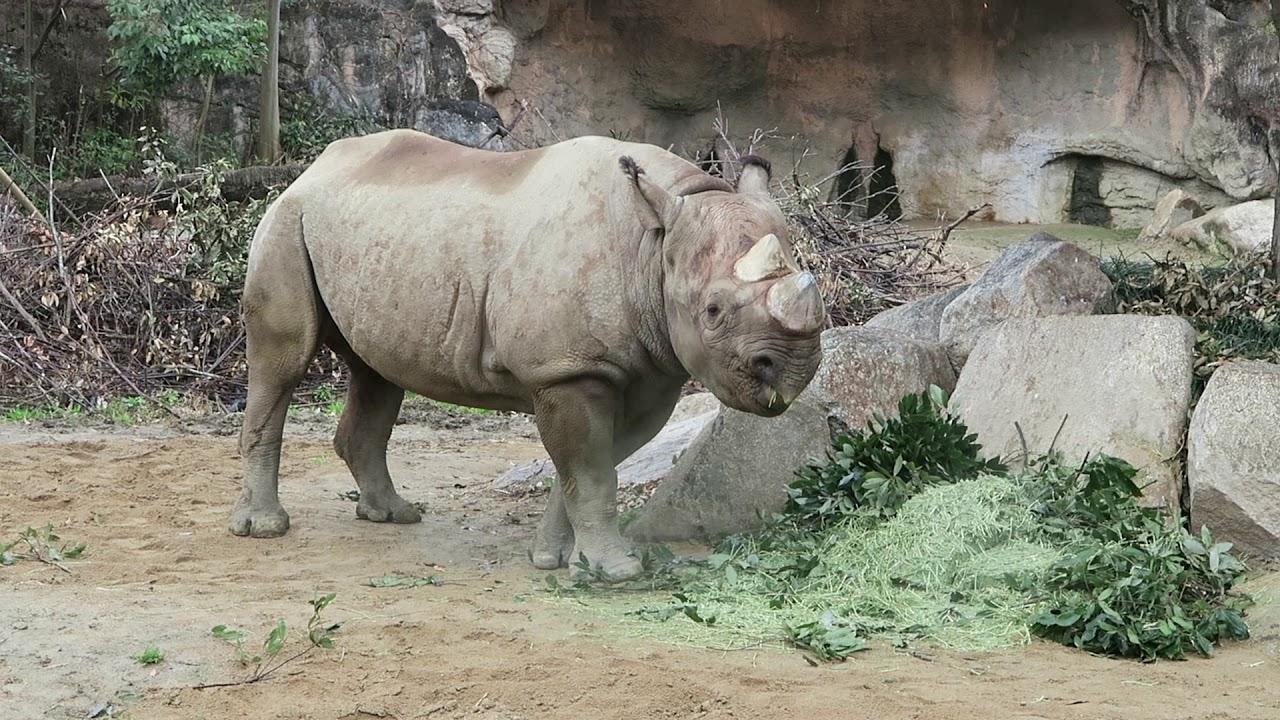 #6 March 2019 Black rhino at Tennoji zoo, Osaka, Japan