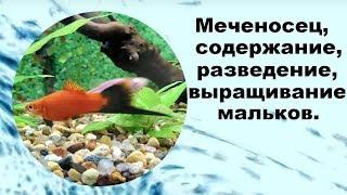Аквариумная рыбка меченосец, меченосцы, содержание, разведение, выращивание мальков.
