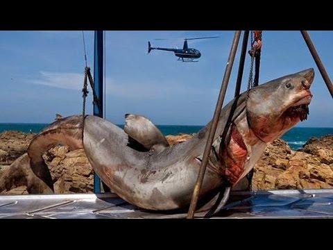 15 - Ton Prehistoric Shark Captured Off Coast Of Pakistan megaladon