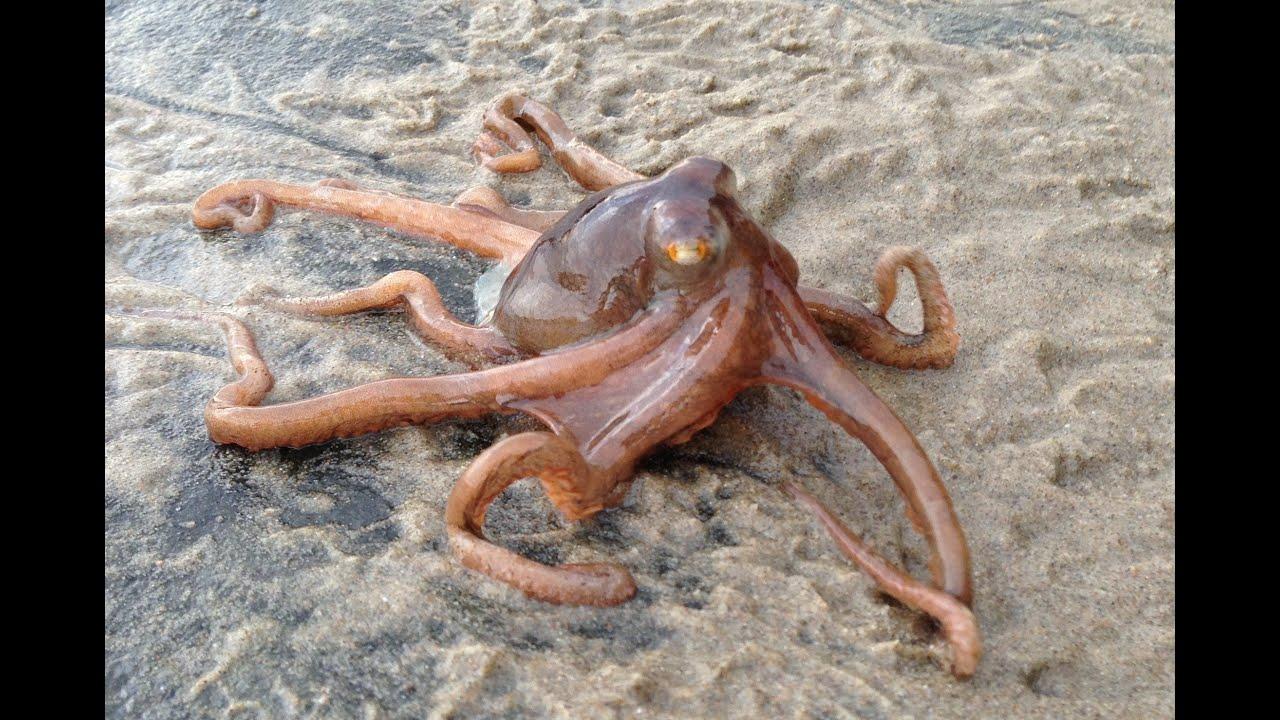 Little Octopus Climbing Over Rock - Parry Gripp