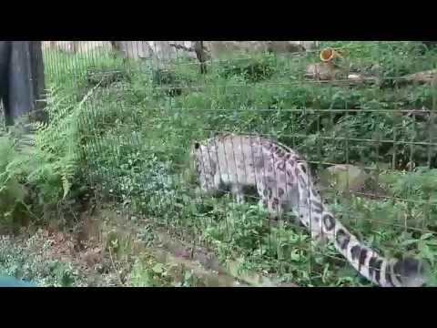 #6 July 2016 Snow leopard at Tama zoo, Tokyo, Japan