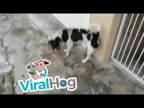 Dog Doesn't Trust His Own Paw