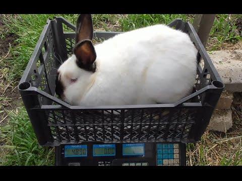 Калифорнийский кролик, что о нём? Моё мнение!