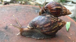 chuyen la viet nam Khi 2 con ốc sên iu nhau , thật thú vị