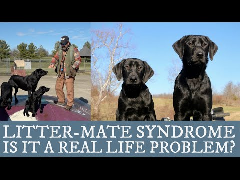 Should I Get Two Puppies? - An Overview of Littermate Syndrome