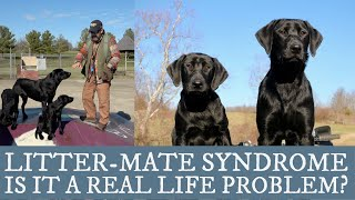 Labrador Retriever Training   An Overview of Littermate Syndrome