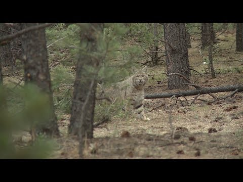 How To Hunt Bobcats - Fred Eichler