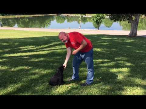 "For Sale W/Additional Training ""Kramer"" 8 Wk Giant Schnauzer Puppy W/Protection Dog Sales"