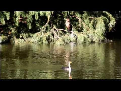 Great Cormorant at Arnold Arboretum