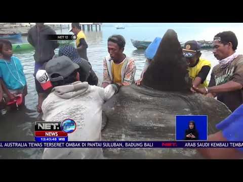 Ikan Mola Mola Terperangkap Jaring di Perairan Palu - NET 12