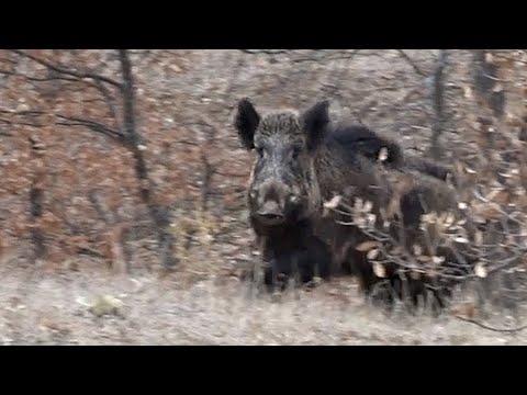 Mükemmel Atışlar ile Aksiyon dolu yaban domuzu avı, PERFECT WILD BOAR HUNTING
