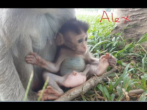 Wow baby monkey Alex! Look at Alex so thin & pale one, Very pity for small Alex