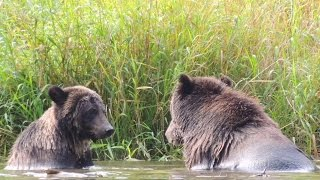 2nd year cub 'Rocky'  taking on his mom 'Coco' during a bear viewing tour.
