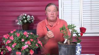 Growing Roses : How to Transplant Climbing Roses