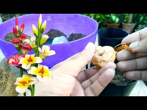 Planting Gladiolus Bulbs In Pots Sowing Time September To October Part 1 Urdu Hindi