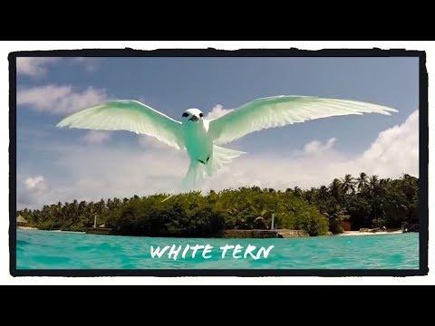 White Tern | Maldives