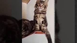 Котята мейнкун Норд, Ниагара, Небраска продаются