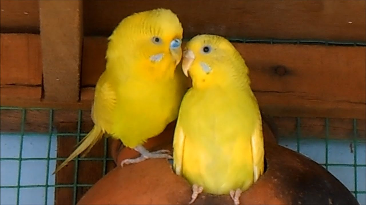 Yellow Lovebirds Mating - YouTube
