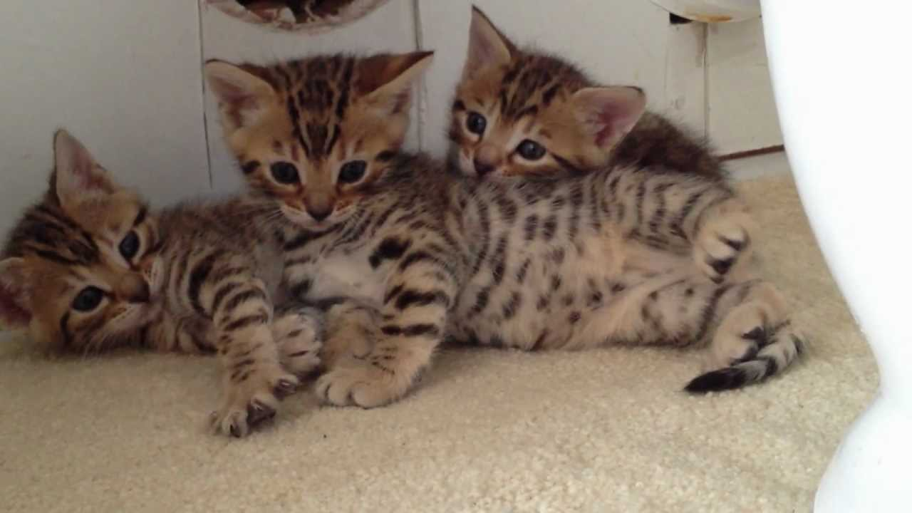 kittens for sale uk - YouTube