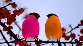 видео Птица снегирь