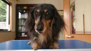 愛犬美容ドリームドッグに2013年8月にトリミングでご来店された方...