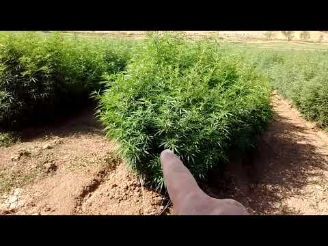Growing Hemp
