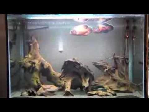 Poisson oscar animaleriedz algerie aquarium 500 litres - Poisson shark aquarium ...