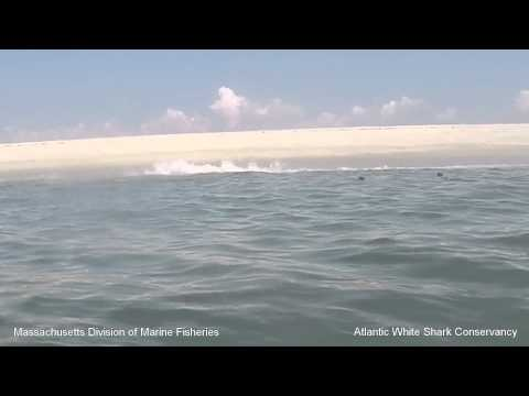 White Shark 0: Seal 1 - Cape Cod