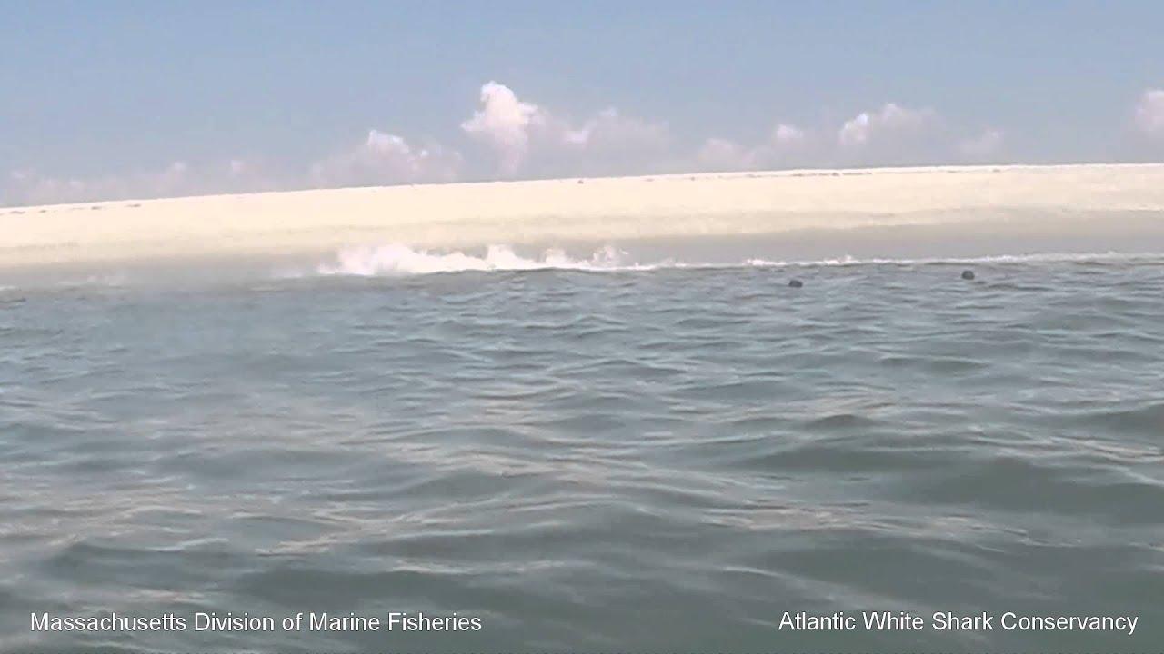 White Shark 0: Seal 1 - Cape Cod