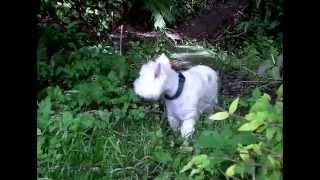 Rehoming A Westie