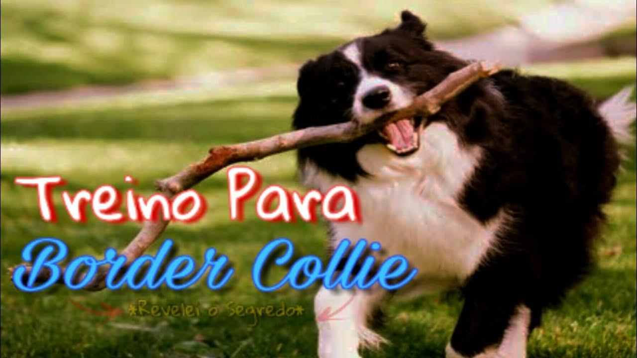 Aprenda 5 Passos De Como Treinar Um Border Collie Cachorro Mais Inteligente Do Mundo