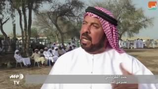 """بالفيديو.. """"مصارعة ثيران"""" بدون عنف في الإمارات"""