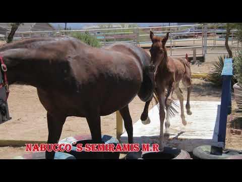 Missouri Foxtrotter Offspring 2021 Miller Ranch