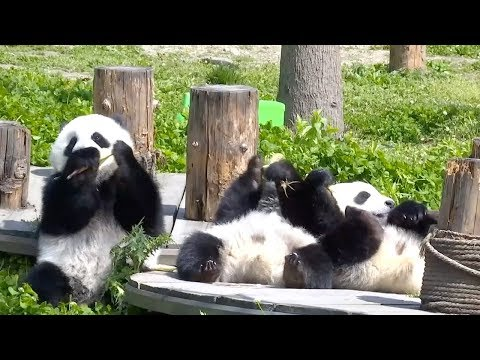 Five Pairs Of Captive-bred Giant Pandas Receive Wild Training In SW China