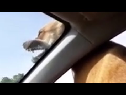 Ecstatic dog celebrates her birthday with epic car ride