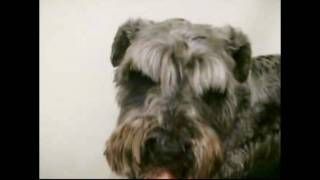 http://www.doggies.tv 今回のバル君は前回と同じように2㎜のシュナウザ...