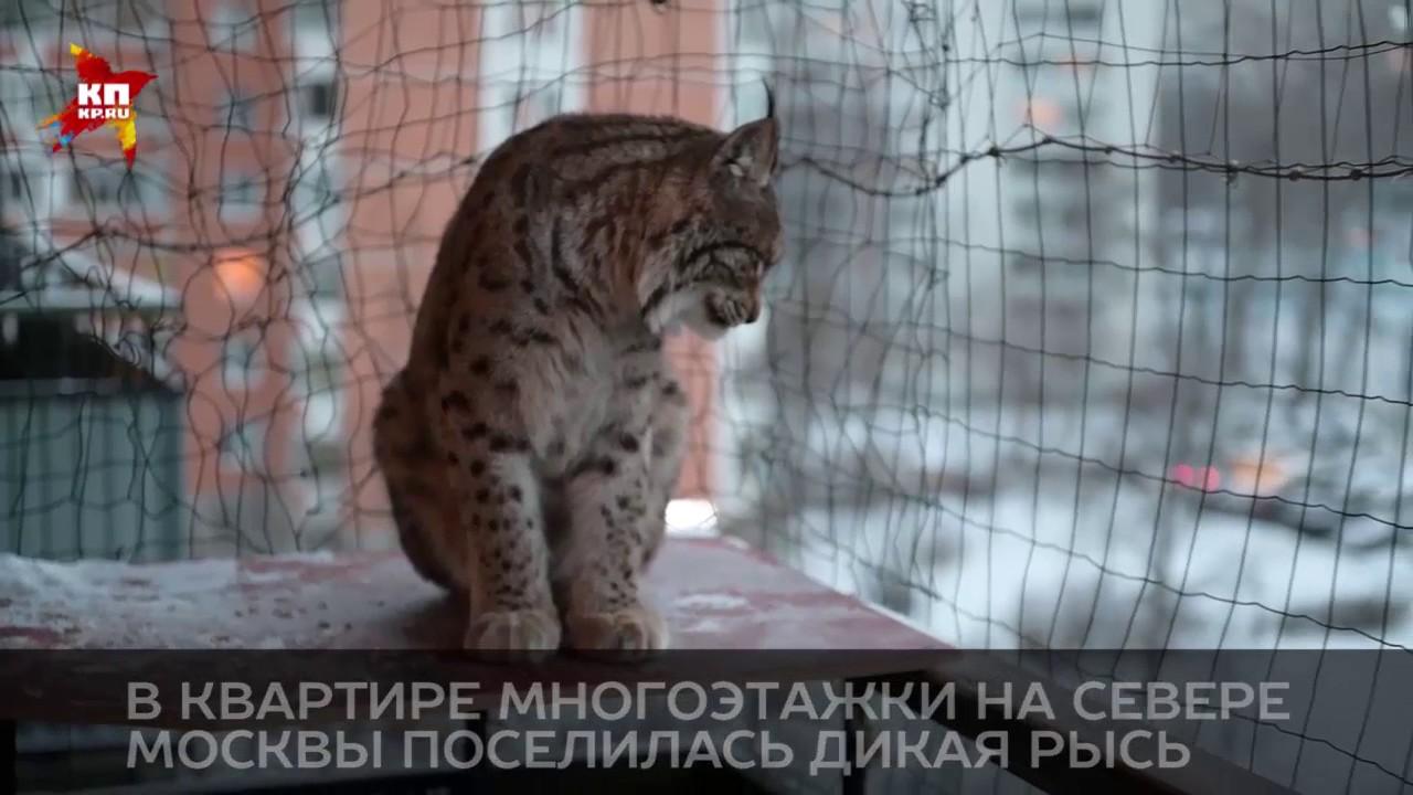В квартире многоэтажки на севере Москвы поселилась дикая рысь