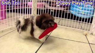 Shih Tzu, Puppies, For, Sale, In, South Bend, Indiana, County, In, Allen, Hamilton, St  Joseph, Vand