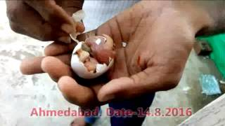 Amazing pigeon hatched two baby pigeons in a egg...... isnt it a miracle