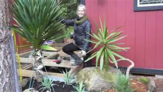 How to Transplant Yucca gloriosa Part 2