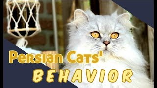 Characteristics of Persian Cat and Why You Need One (Personality And Behaviours Of Persian Cats)
